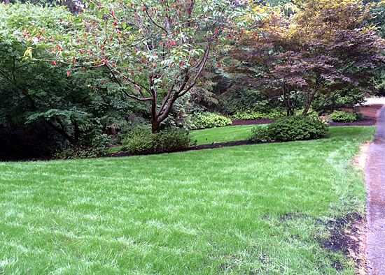 new lawn growing in from seed